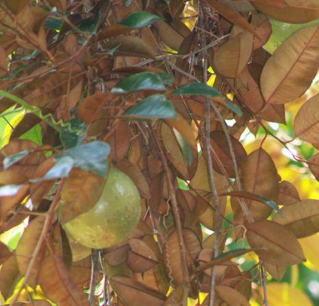 Arboles frutales de Puerto Rico-datos y fotos